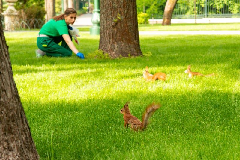 De eekhoorns zijn pret op het groene gras in het park in werking te stellen Een tuinmanvrouw voedt hen noten stock foto