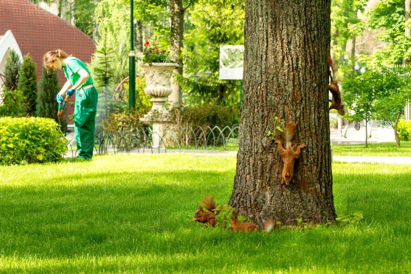De eekhoorns zijn pret rond de eik in het park in werking te stellen Een tuinmanvrouw in een groen werkend kostuum snijdt struike royalty-vrije stock foto's