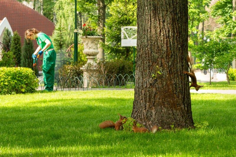 De eekhoorns zijn pret rond de eik in het park in werking te stellen Een tuinmanvrouw snijdt struiken met scharen of stock afbeeldingen