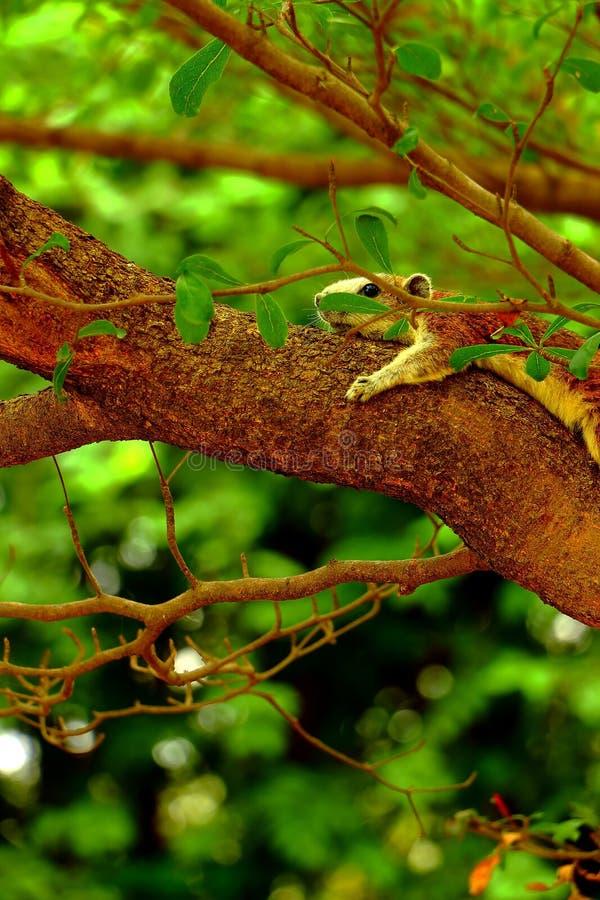 De eekhoornslaap royalty-vrije stock foto