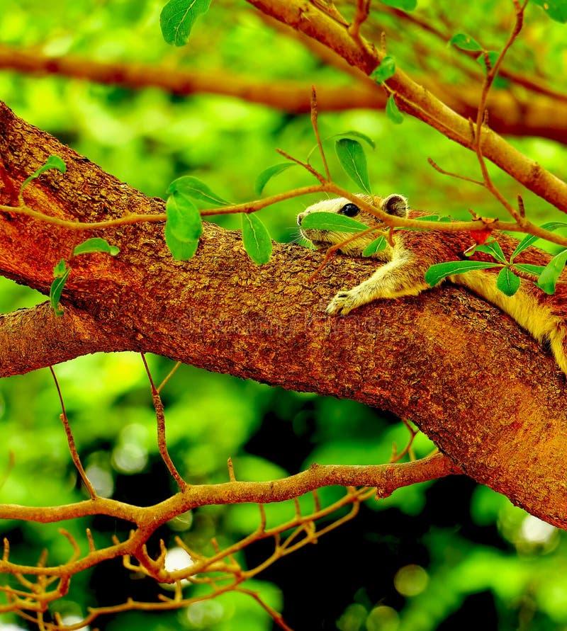 De eekhoornslaap royalty-vrije stock foto's