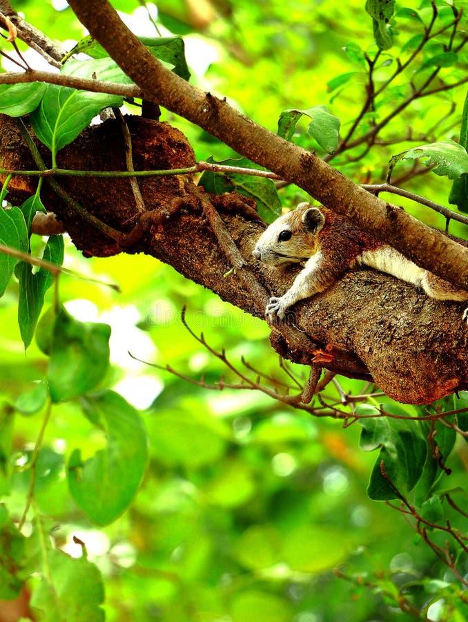 De eekhoornslaap stock foto