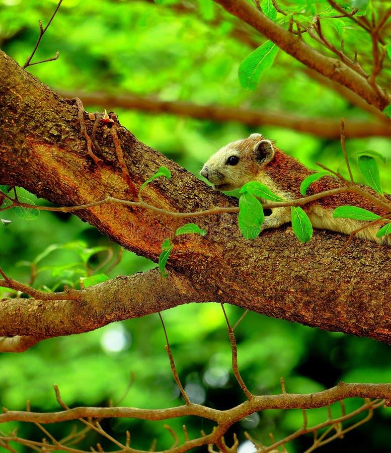 De eekhoornslaap stock foto's