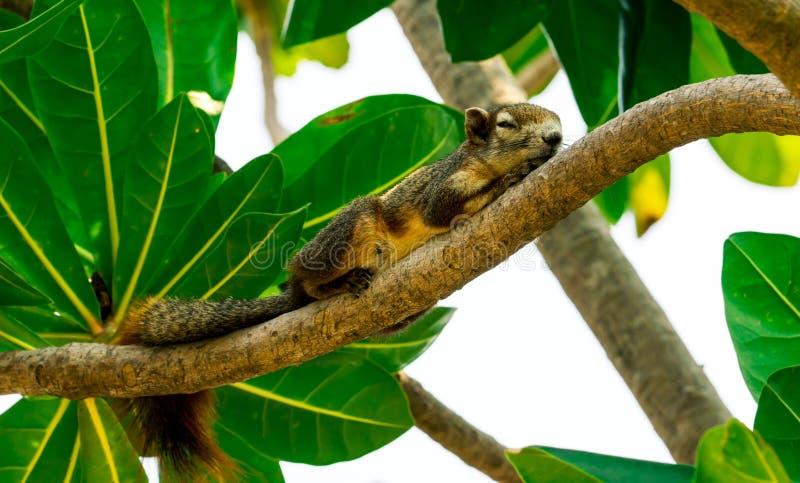 De eekhoornslaap op tak van boom met groene bladeren na heeft lunch op middag Ontspannende tijd van leuke eekhoorn royalty-vrije stock afbeelding