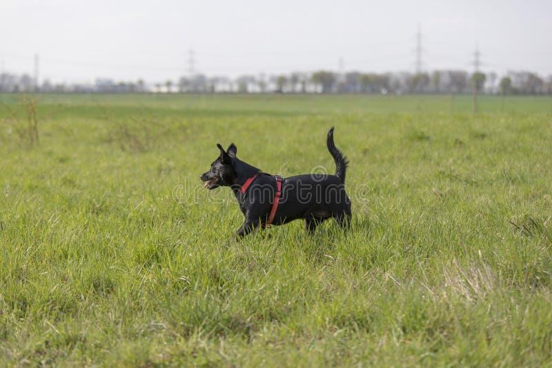 De een weinig zwarte hond loopt in openlucht in groen gras De hond is gemengd van een Labrador royalty-vrije stock afbeelding