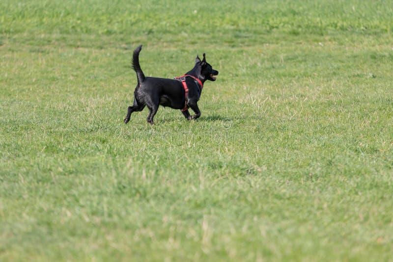 De een weinig zwarte hond loopt in openlucht in groen gras De hond is gemengd van een Labrador stock fotografie
