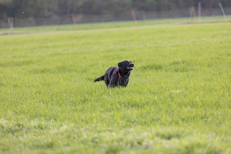 De een weinig zwarte hond loopt in openlucht in groen gras De hond is gemengd van een Labrador stock afbeelding