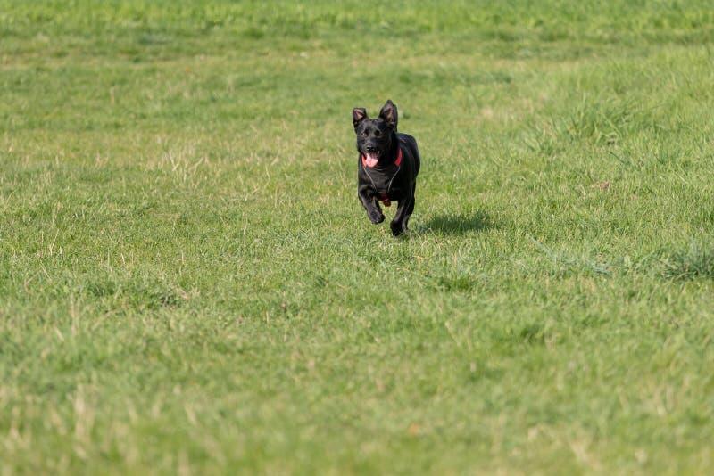 De een weinig zwarte hond loopt in openlucht in groen gras De hond is gemengd van een Labrador stock afbeeldingen