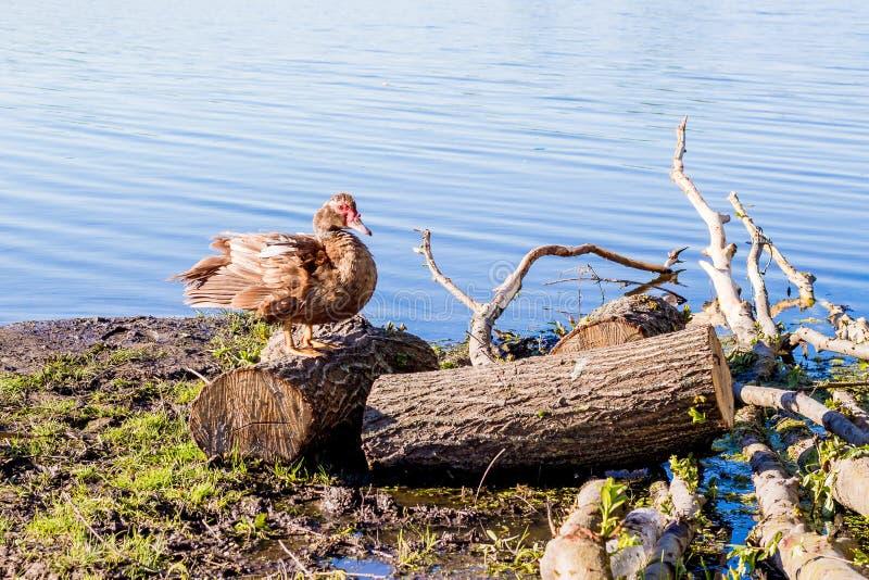 De eend bevindt zich op dek dichtbij rivier Sunny Spring Or Summer Day stock fotografie