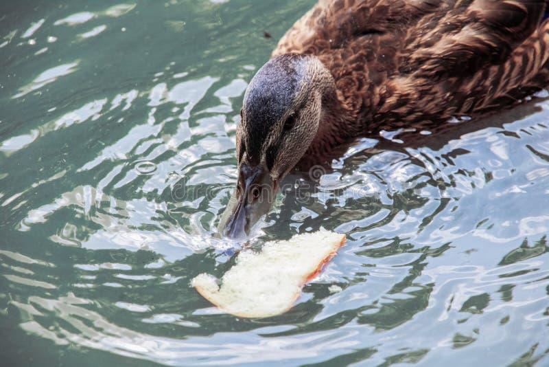 De eend in het blauwe water eet brood stock afbeelding