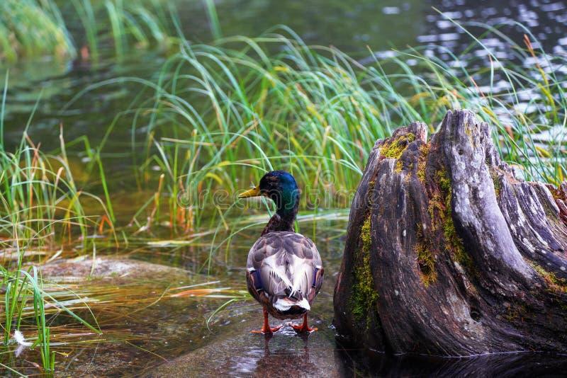 De eend met fantastische kleur van veer blijft op de rots in het water royalty-vrije stock foto
