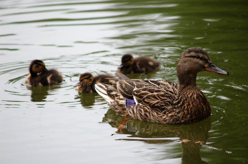De Eend van mamma's met de Eenden van de Baby royalty-vrije stock afbeelding