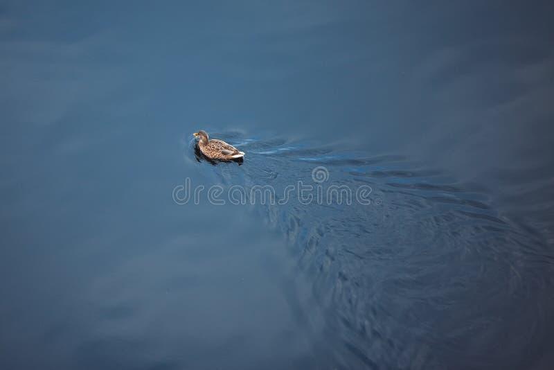 De eend zwemt op de meerachtergrond stock foto