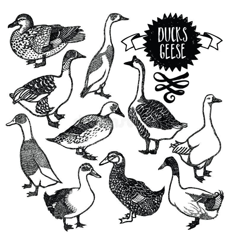De Eenden en de ganzen van landbouwbedrijfvogels vector illustratie