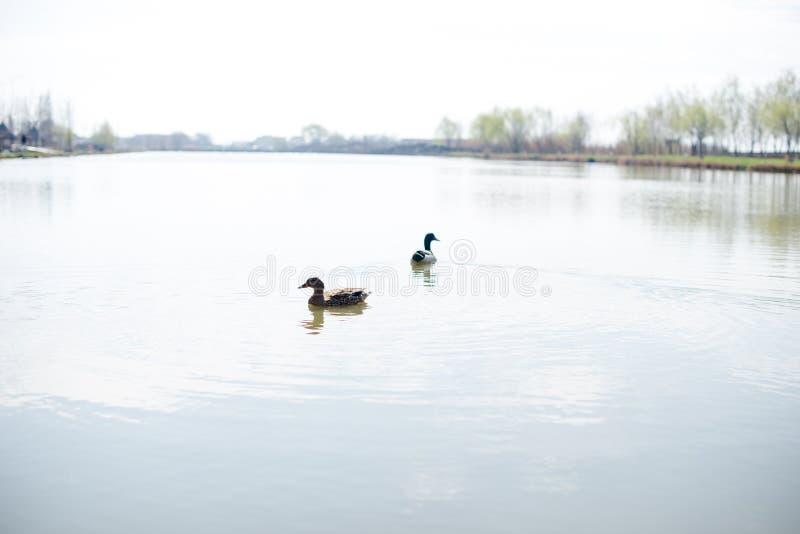 De eenden genieten van zwemmen stock afbeelding