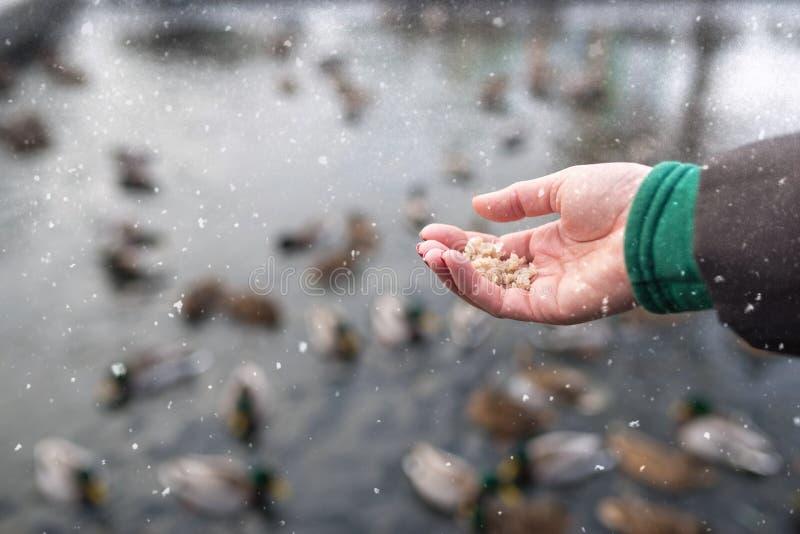 De eenden van het de handvoer van het meisje op het meer in de winter stock foto's