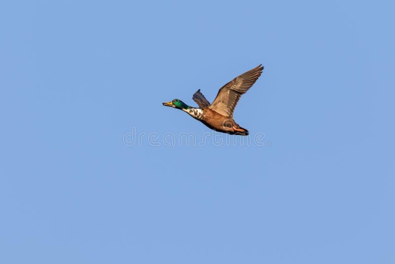 De Eenden van de wilde eend tijdens de vlucht royalty-vrije stock foto