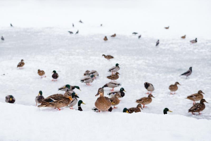 De eenden zijn op het bevroren meer stock foto