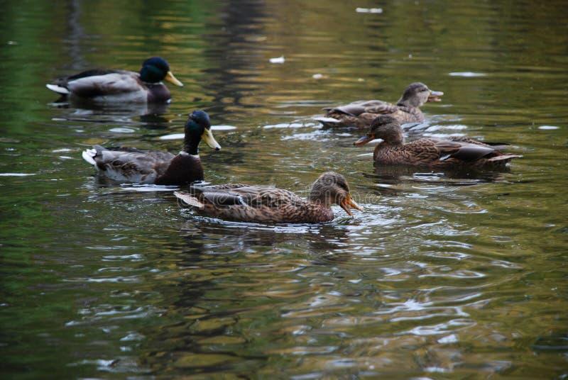 de eenden zwemmen in het meer in het openbare stadspark royalty-vrije stock foto's