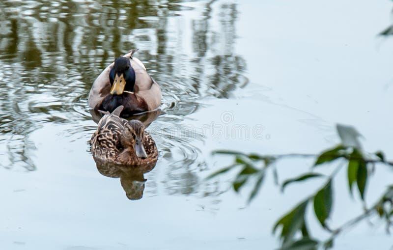 De eenden zwemmen in de vijver royalty-vrije stock afbeeldingen
