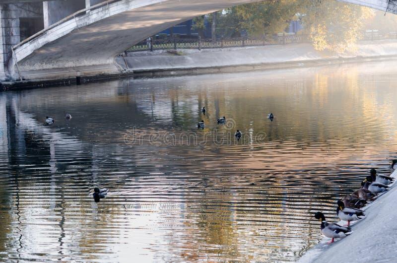 De eenden zwemmen in de vijver van het stadspark royalty-vrije stock afbeelding