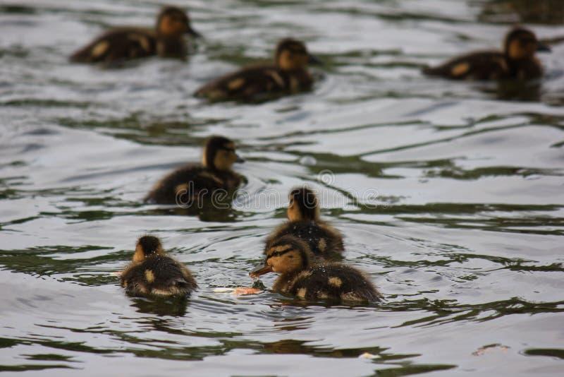 De eendjes zwemmen stock foto's