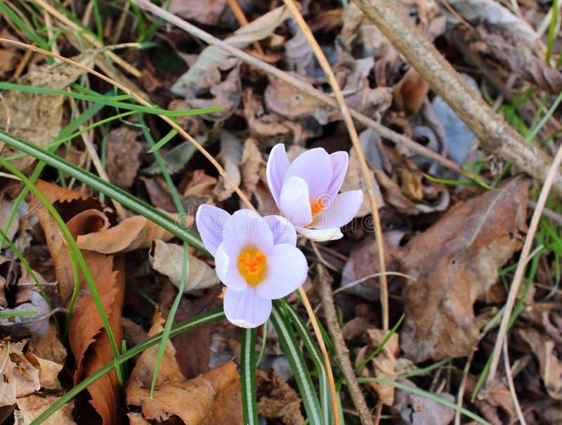 De eenvoudige en prachtige bloem van Krokusbiflorus royalty-vrije stock foto's