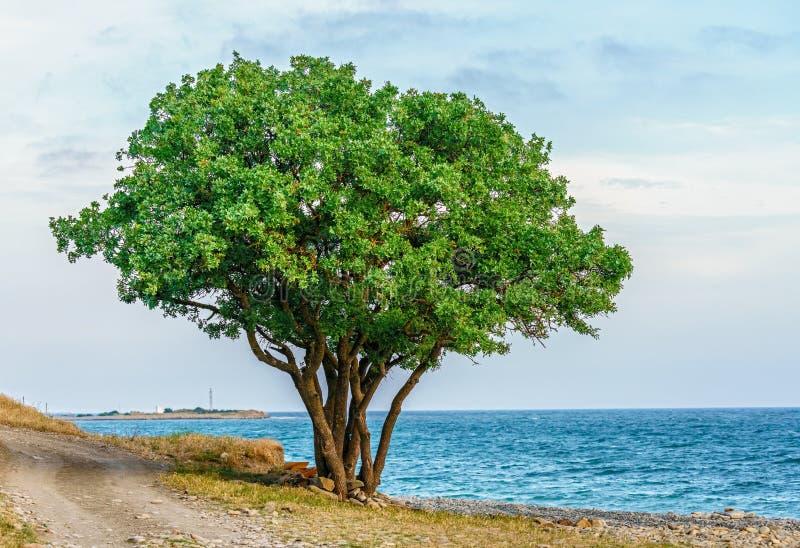 De eenzame groene terebinthboom met het uitspreiden van takken en de veelvoudige boomstammen op de kust van de Zwarte Zee in Anap stock foto's