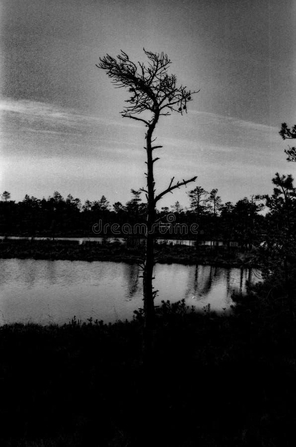 De eenzame, het sterven boom groeit in de wildernis stock afbeelding