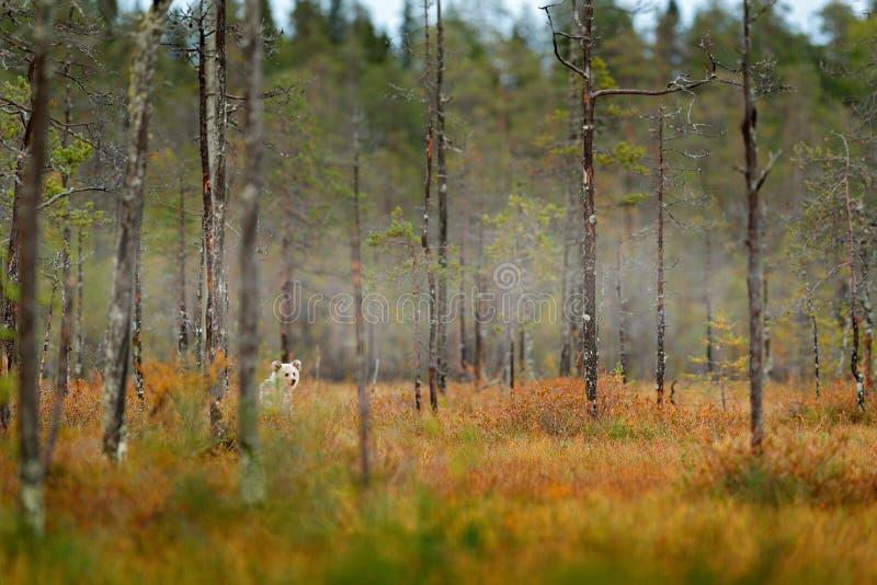 De eenzame jonge welp draagt in het pijnboombos draagt jong zonder moeder Licht dier in aardbos en weidehabitat Het wild scen royalty-vrije stock fotografie