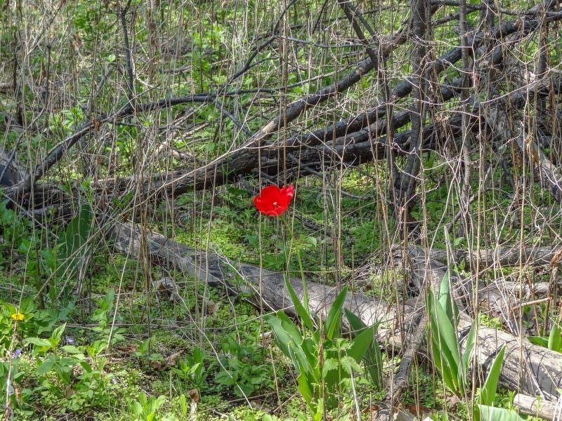 De eenzame Rode Tulp knoeit binnen van Oude Wijnstokken en Bomen royalty-vrije stock foto
