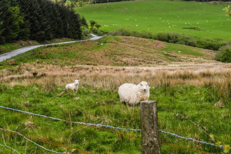 De eenzame schapen royalty-vrije stock afbeeldingen
