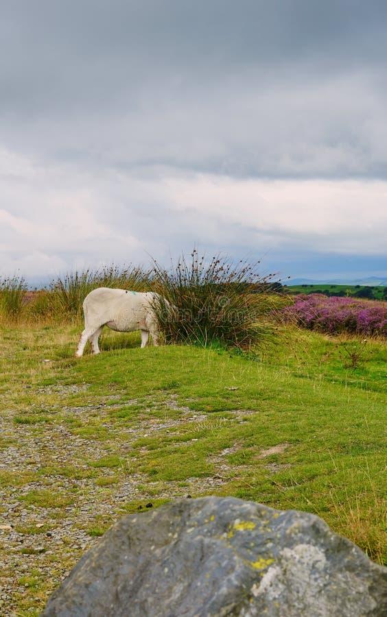 De eenzame Schapenhuiden leiden in struik terwijl het weiden van de Schotse Laaglanden stock afbeeldingen