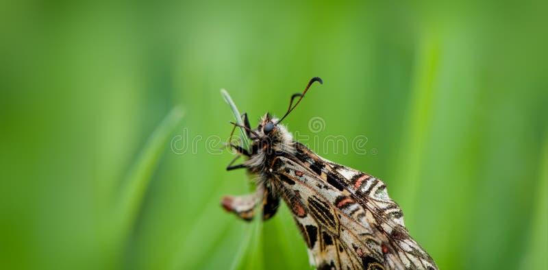 De eenzame vlinder zit op een groen gras op een vage groene backgrou stock afbeeldingen