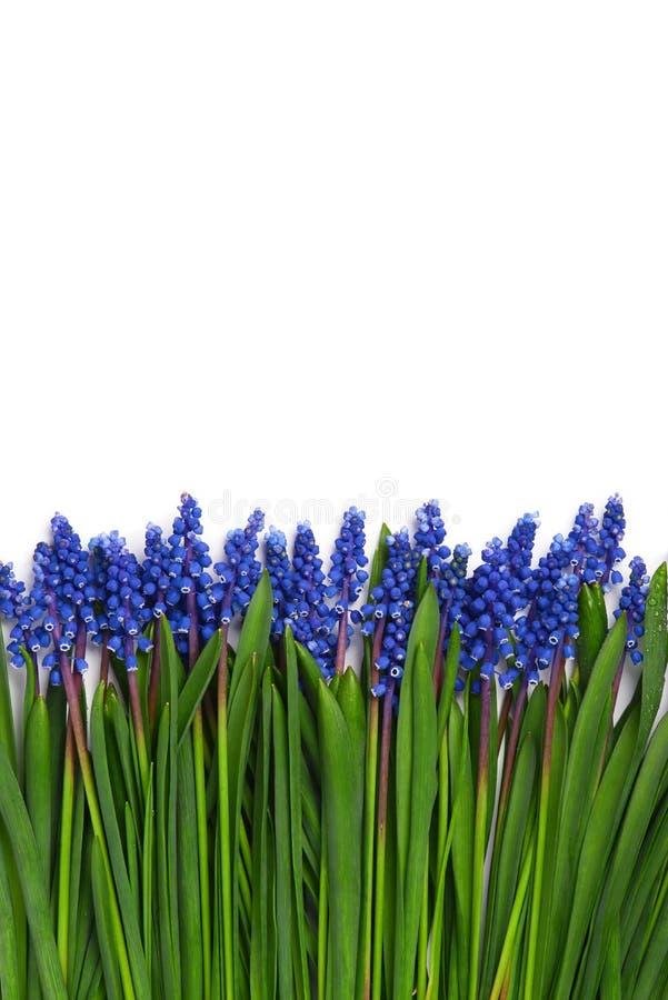 De eerste blauwe die grens van Muscari van de lentesbloemen op witte achtergrond wordt geïsoleerd royalty-vrije stock afbeelding