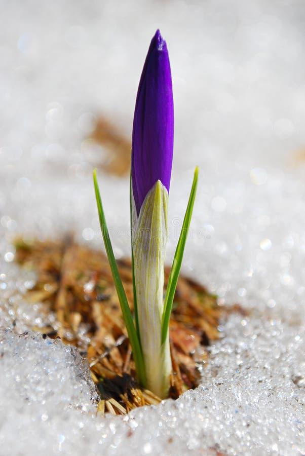 Eerste de lentebloem royalty-vrije stock foto's