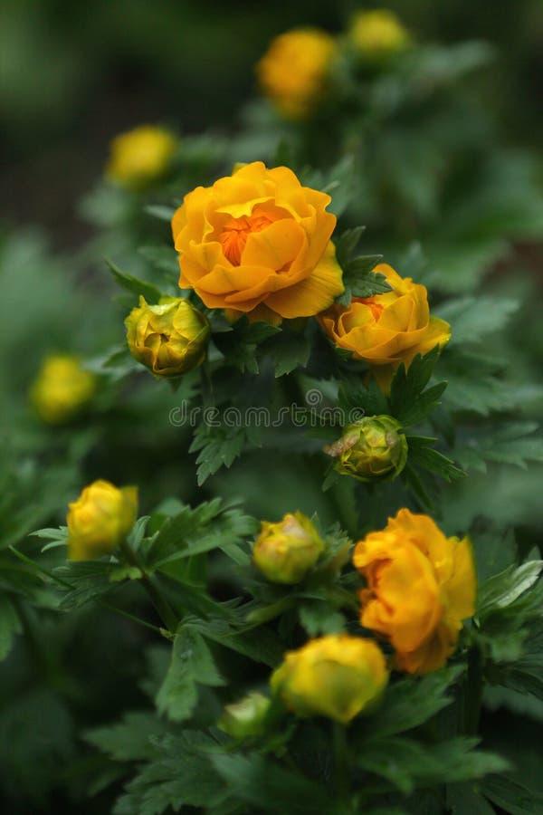 De eerste bloemen Eranthis van de gebiedslente stock fotografie