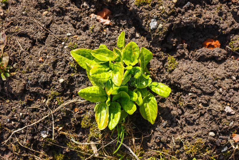 De eerste jonge zuring groeide in de lente stock foto's