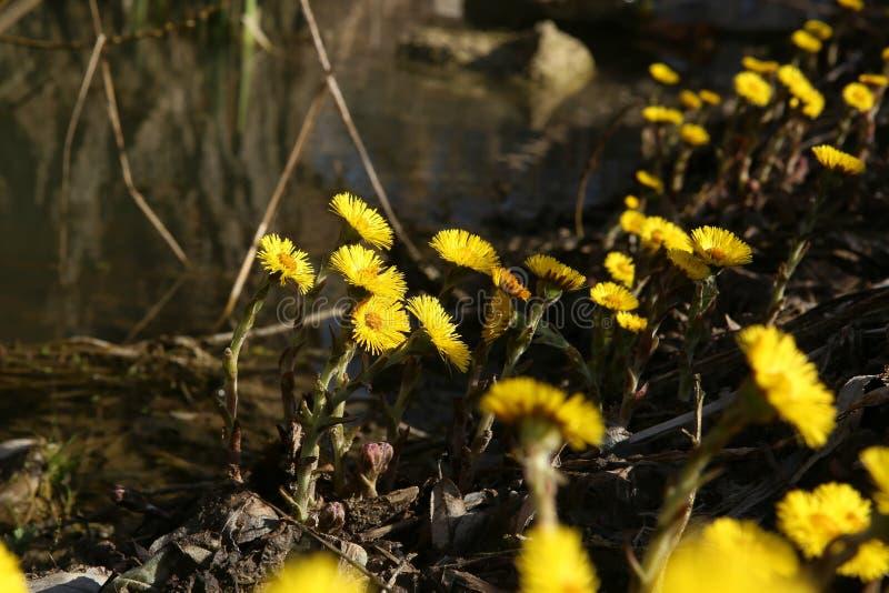 De eerste lente bloeit coltsfoots stock afbeelding