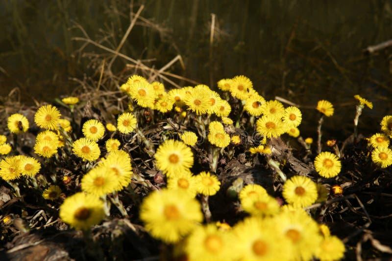 De eerste lente bloeit coltsfoots stock foto's
