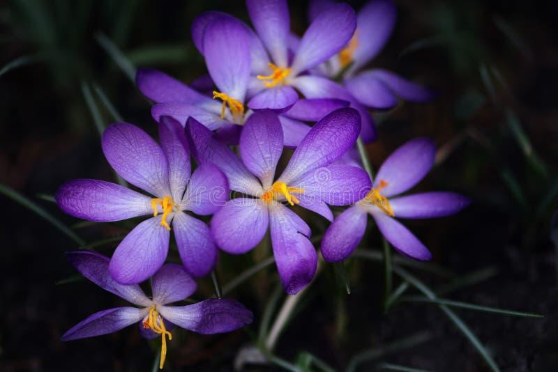 De eerste lente bloeit purpere krokussen royalty-vrije stock afbeelding
