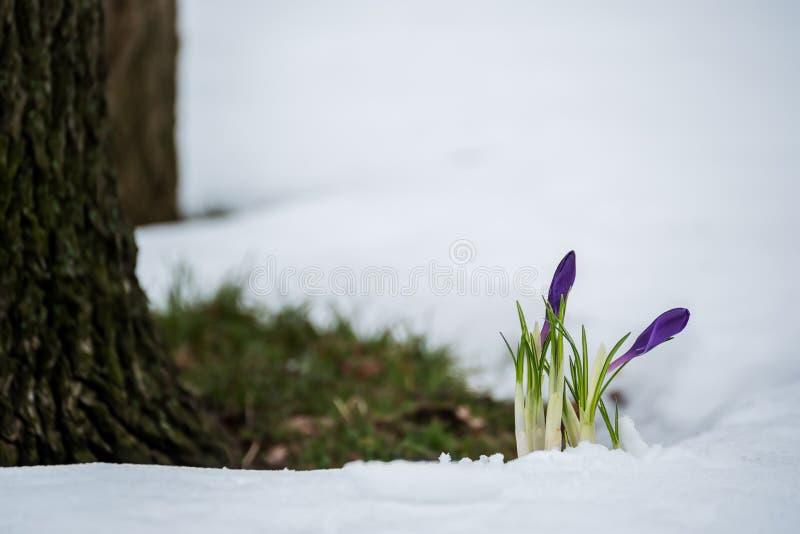 De eerste lente bloeit in de sneeuw stock foto's