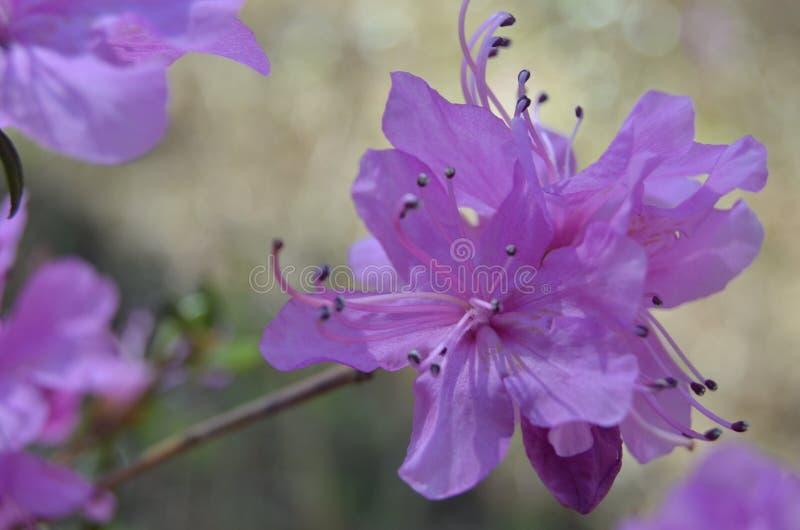 De eerste de lentebloemen, slaap-gras royalty-vrije stock afbeelding