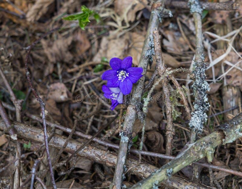 De eerste purpere bloemen van Hepatika maken hun manier door de bladeren van vorig jaar in het bos, in de vroege lente stock foto