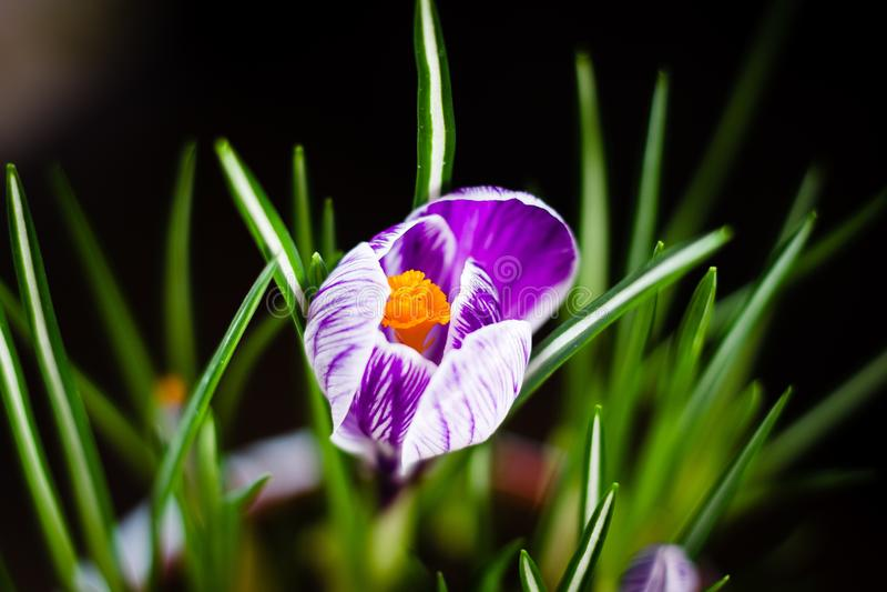 De eerste purpere krokus van de de lentebloem op een zwarte achtergrond stock afbeeldingen