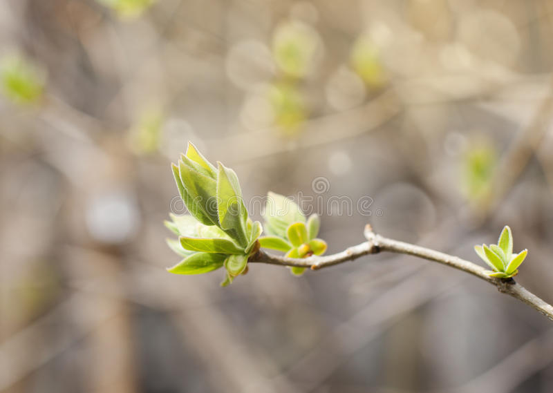 De eerste van van de lente zachte bladeren, knoppen en takken achtergrond royalty-vrije stock afbeeldingen