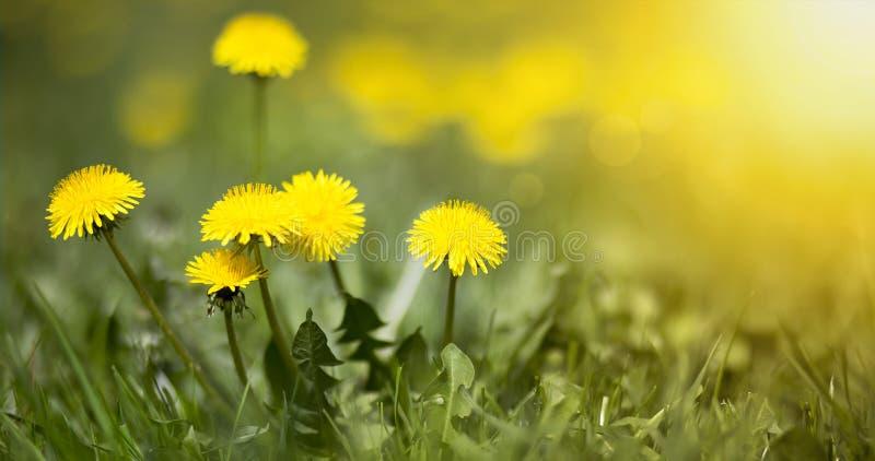 De eetbare verse gele bloemen van de blowballpaardebloem royalty-vrije stock foto's