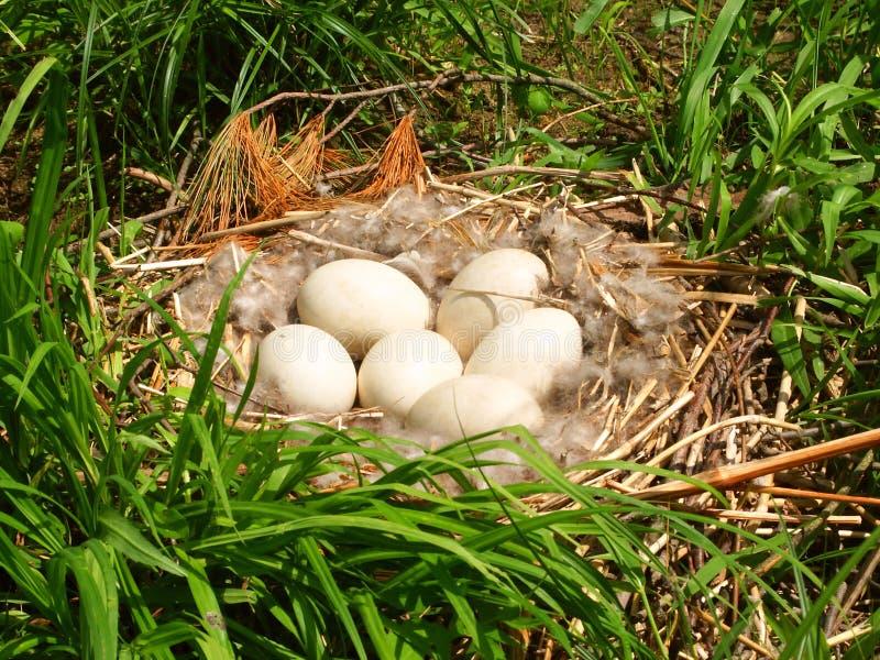 De Eieren van de Gans van Canada stock fotografie