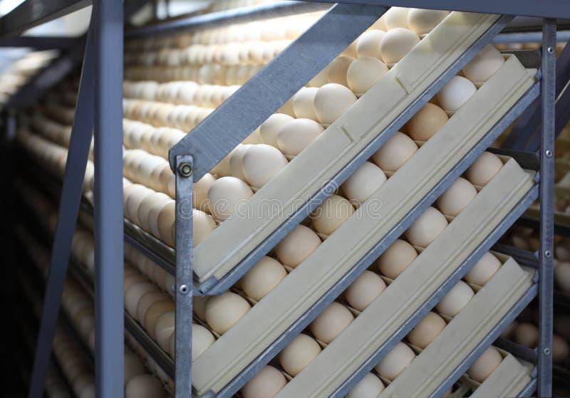 De eieren van de kip in incubator royalty-vrije stock fotografie