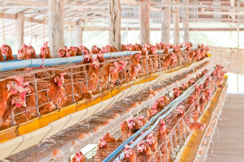 De eieren van de landbouwbedrijfkip. stock afbeeldingen